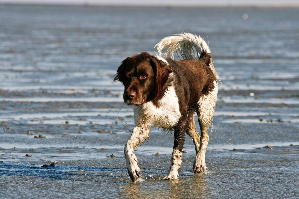 Small Munsterlander walking across a mudflat : Stock Photo