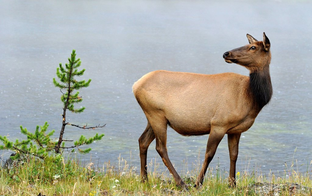 Elk or Wapiti Cervus canadensis, cow, Yellowstone National Park, Wyoming, United States of America, USA : Stock Photo