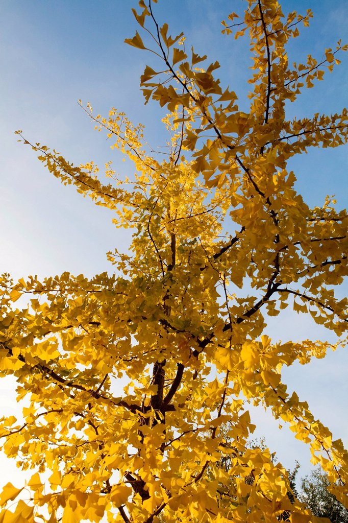 Stock Photo: 1848-607288 Ginkgo tree Ginkgo biloba
