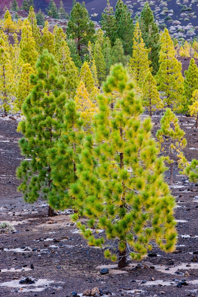 Stock Photo: 1848-607900 Young pine trees growing on volcanic rock in the Teide National Park, UNESCO World Heritage Site, Tenerife, Canary Islands, Spain, Europe