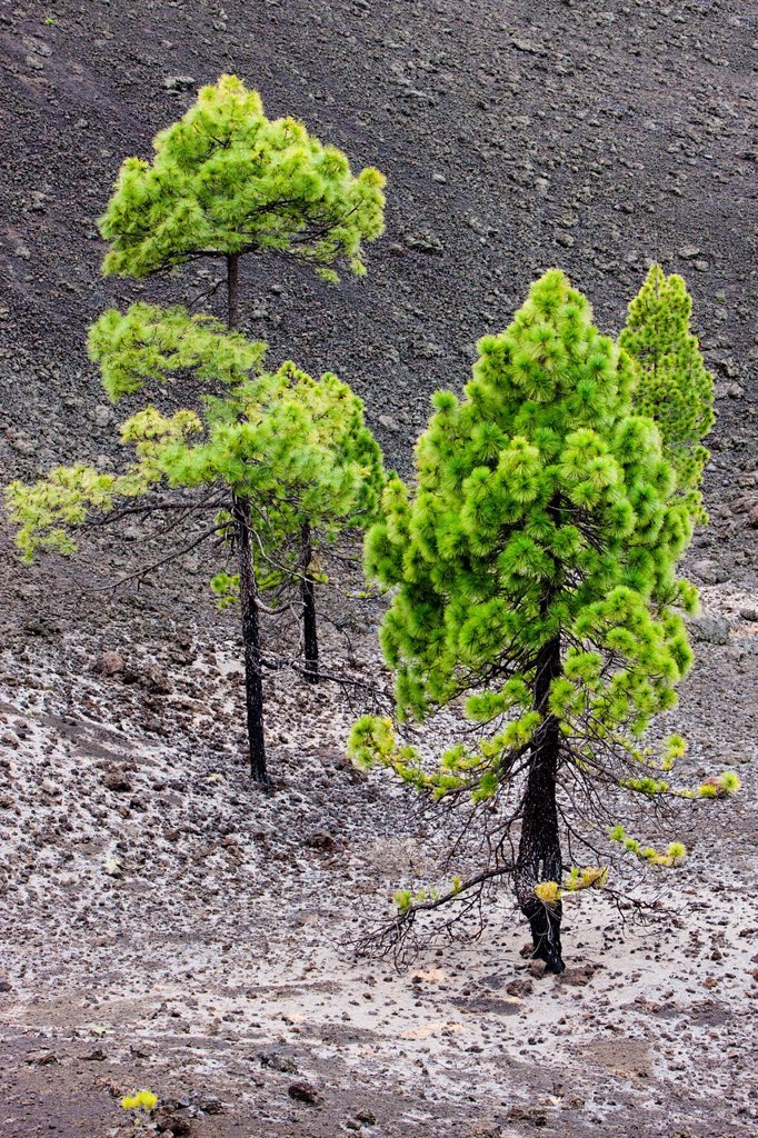Young pine trees growing on volcanic rock in the Teide National Park, UNESCO World Heritage Site, Tenerife, Canary Islands, Spain, Europe : Stock Photo