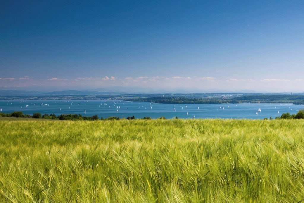 Stock Photo: 1848-608201 Barley field at Lake Constance with a clear blue sky, Baden_Wuerttemberg, Germany, Europe
