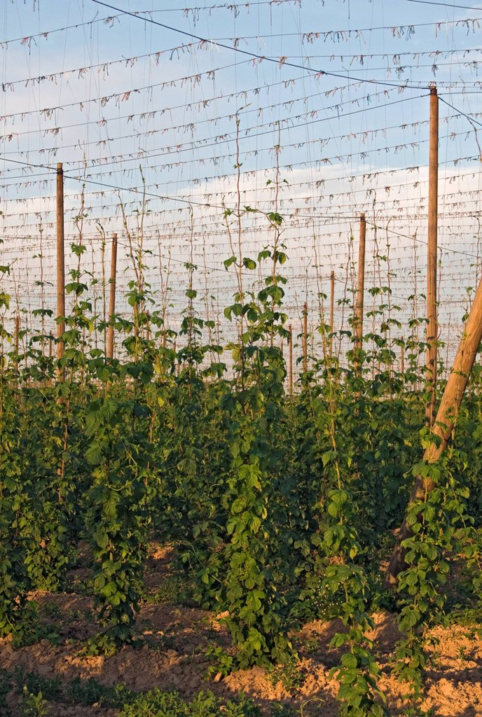 Strings with Common hops Humulus lupulus in a hop yard near Kokory, Moravia, Czech Republic, Europe : Stock Photo