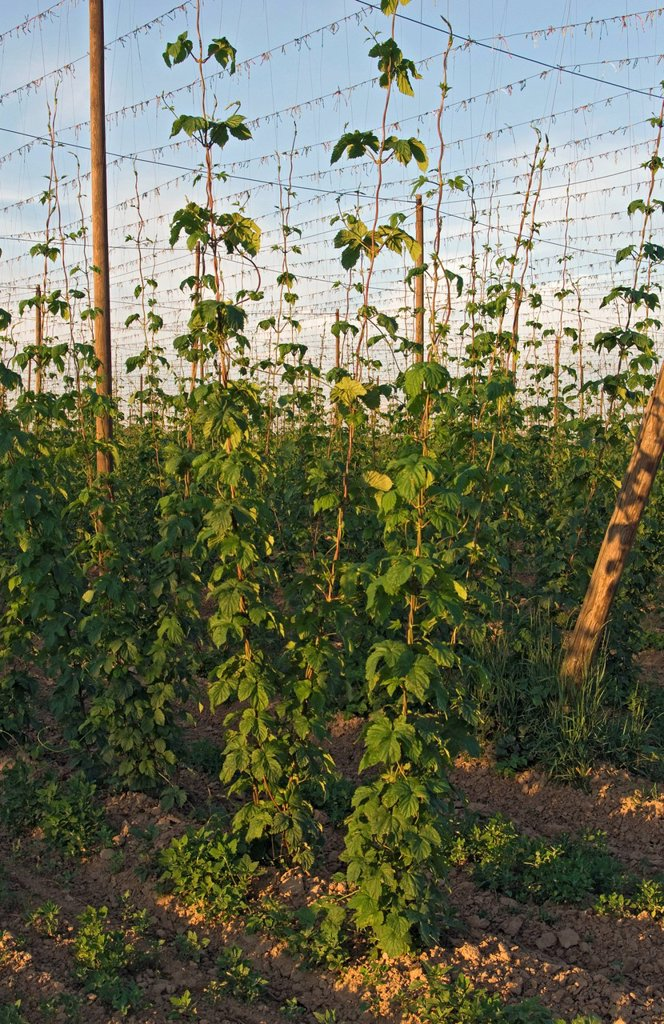 Stock Photo: 1848-608928 Strings with Common hops Humulus lupulus in a hop yard near Kokory, Moravia, Czech Republic, Europe