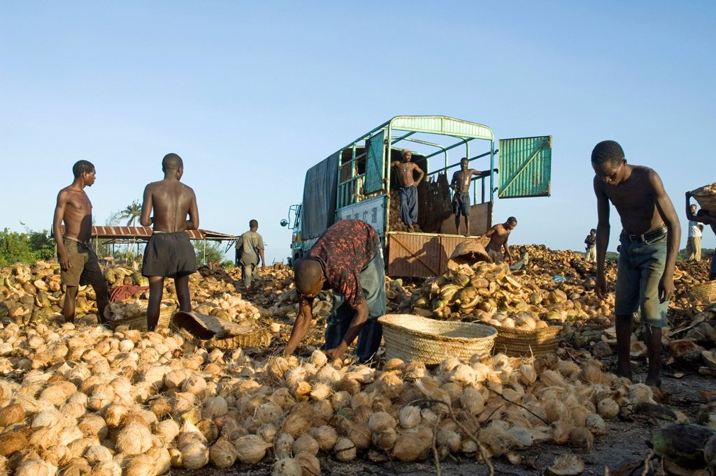 Workers loading coconuts Cocos nucifera onto a truck for the production of copra, Pangani, Tanzania, Africa : Stock Photo