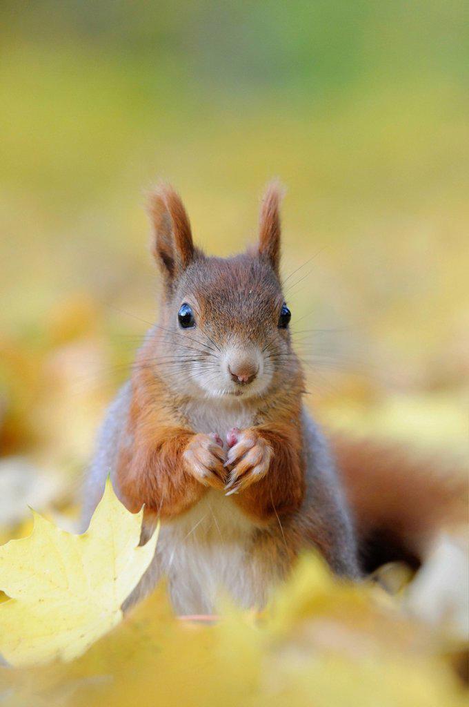 Squirrel Sciurus vulgaris in autumn foliage : Stock Photo
