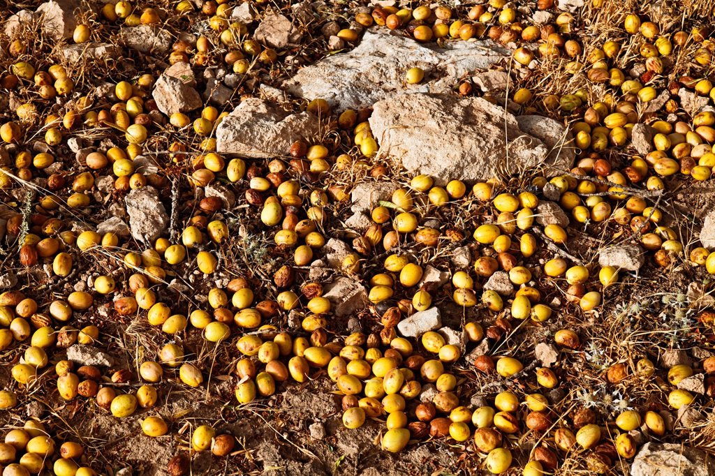 In August the nuts of the Argan Argania spinosa trees start to fall down, near Essaouira, Morocco, Africa : Stock Photo