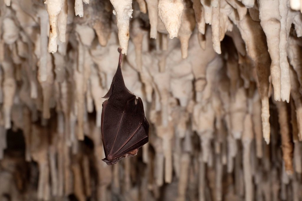 Stock Photo: 1848-611562 Greater horseshoe bat Rhinolophus ferrumequinum hanging on a stalactite in a cave, Sardinia island, Italy, Europe