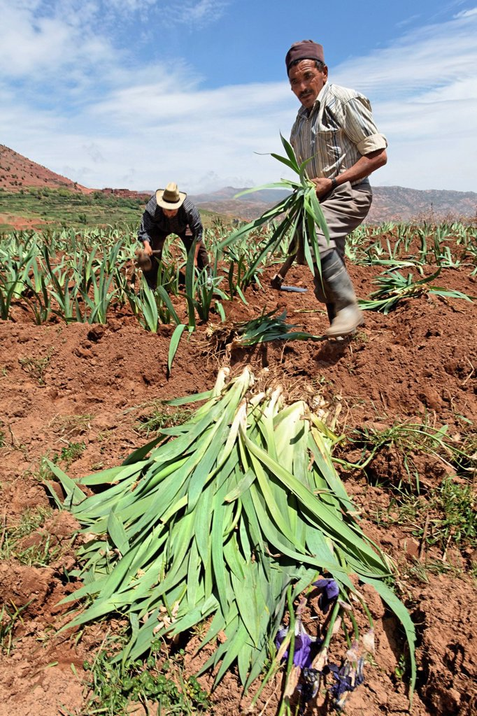 Residents of Hlaout village planting organic German Irises Iris germanica, grown for use in natural cosmetics in Europe, Ait Inzel Gebel region, Atlas Mountains, Morocco, Africa : Stock Photo
