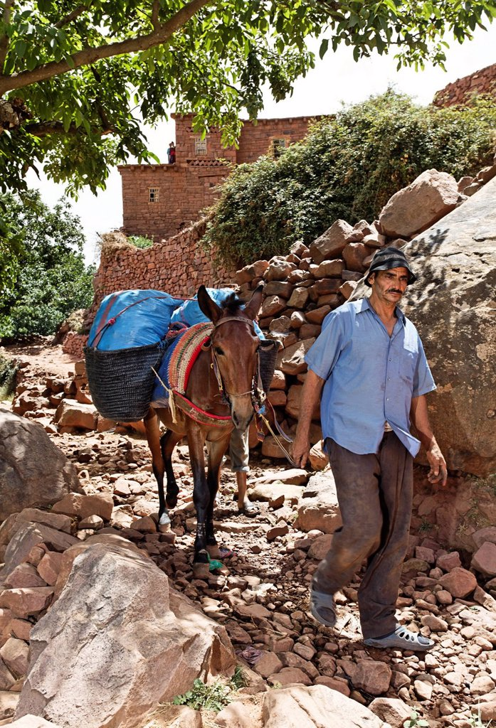 A resident of the village of Iwasoudanei leading a mule laden with bags full of dried Iris Iris germanica rhizomes down to Tighoudine, for natural cosmetics in Europe, Ait Inzel Gebel Region, Atlas Mountains, Morocco, Africa : Stock Photo