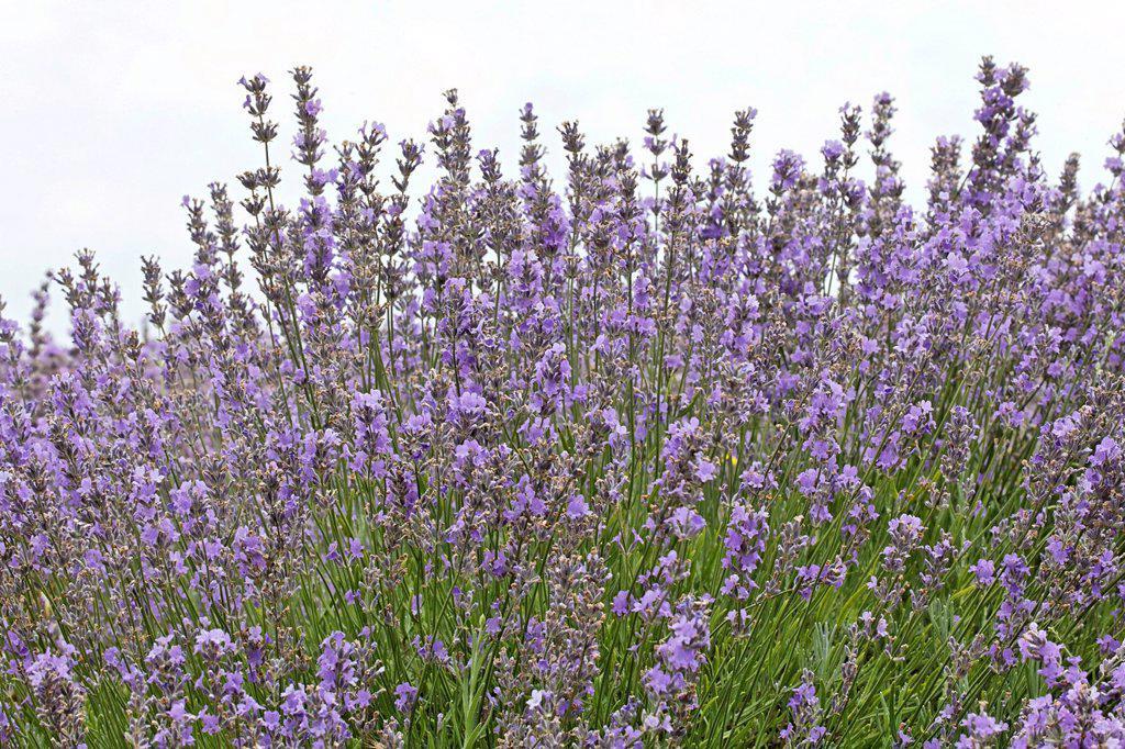 Stock Photo: 1848-611637 Field of organically grown blooming lavender Lavandula, Moldova, Eastern Europe