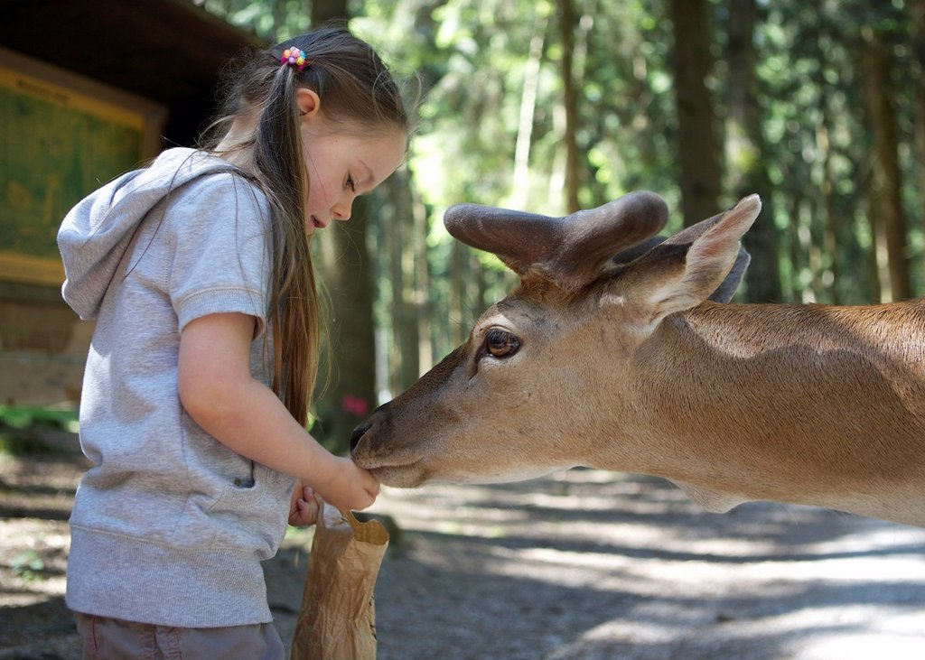 Stock Photo: 1848-612192 Three_year_old girl hand feeding a fallow deer in a forest, Wildpark Poing wildlife park, Bavaria, Germany, Europe