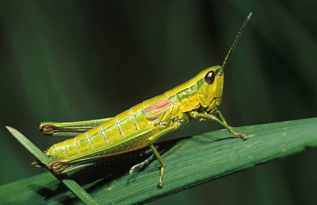 Large Gold Grasshopper Chrysochraon dispar : Stock Photo