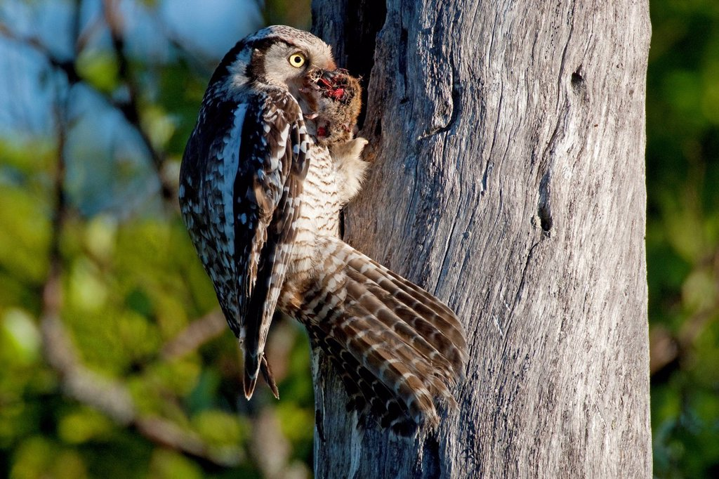 Stock Photo: 1848-612669 Northern hawk owl Surnia ulula, female with prey perched at the nesting hole, Finland, Europe