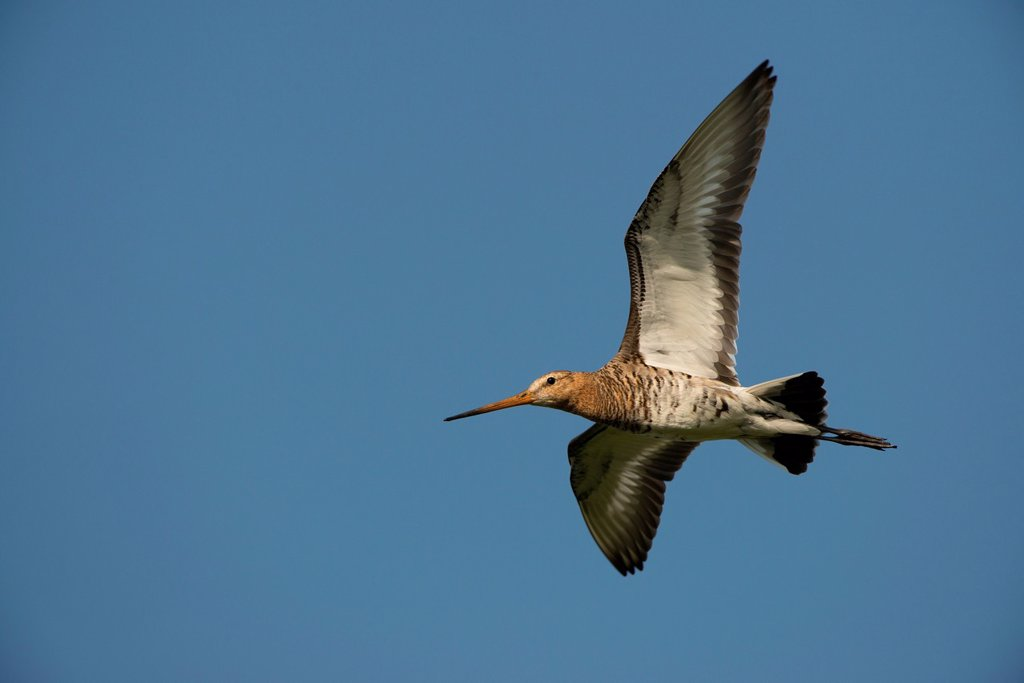 Black_tailed Godwit Limosa limosa, in flight, Texel, Holland, The Netherlands, Europe : Stock Photo