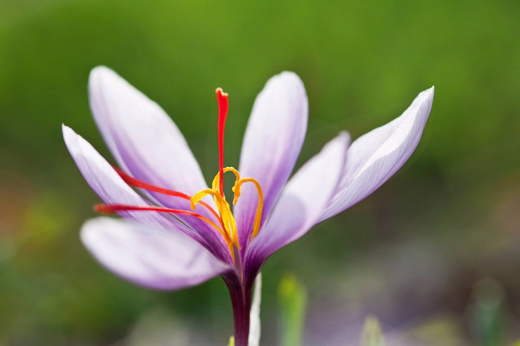 Blooming Saffron Crocus Crocus sativus with its luminous red saffron pistils on the small saffron fields of the municipality of Mund in the mountains of the canton of Valais, Switzerland, Europe : Stock Photo