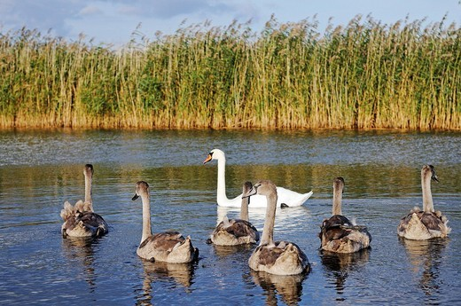 Mute Swans Cygnus olor, Ruegen Island, Mecklenburg_Western Pomerania, Germany, Europe : Stock Photo