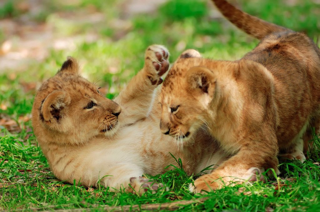 Stock Photo: 1848-614590 Lion Panthera leo, two cubs playing, African species, captive, The Netherlands, Europe