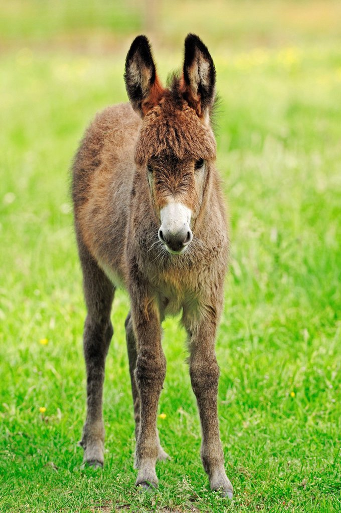 Stock Photo: 1848-614810 Donkey Equus asinus asinus, foal standing in the pasture, North Rhine_Westphalia, Germany, Europe