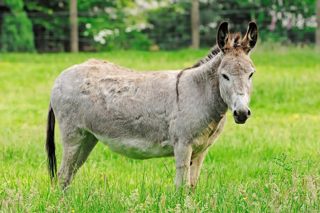 Donkey Equus asinus asinus, standing in the pasture, North Rhine_Westphalia, Germany, Europe : Stock Photo
