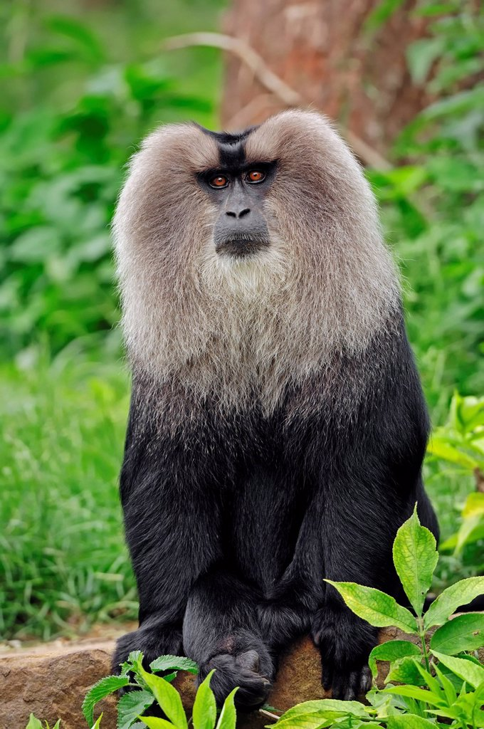 Stock Photo: 1848-614820 Lion_tailed macaque Macaca silenus, male, found in India, captive, Belgium, Europe