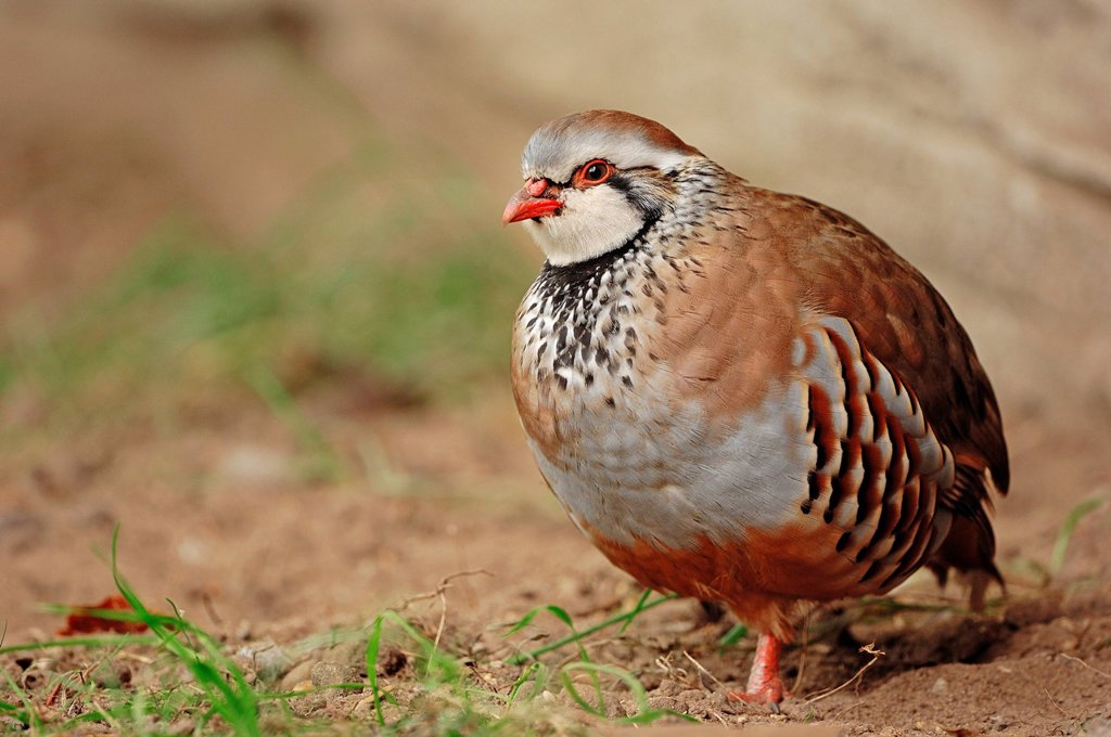 Stock Photo: 1848-614836 Red_legged partridge Alectoris rufa, found in southern Europe, captive, Belgium, Europe