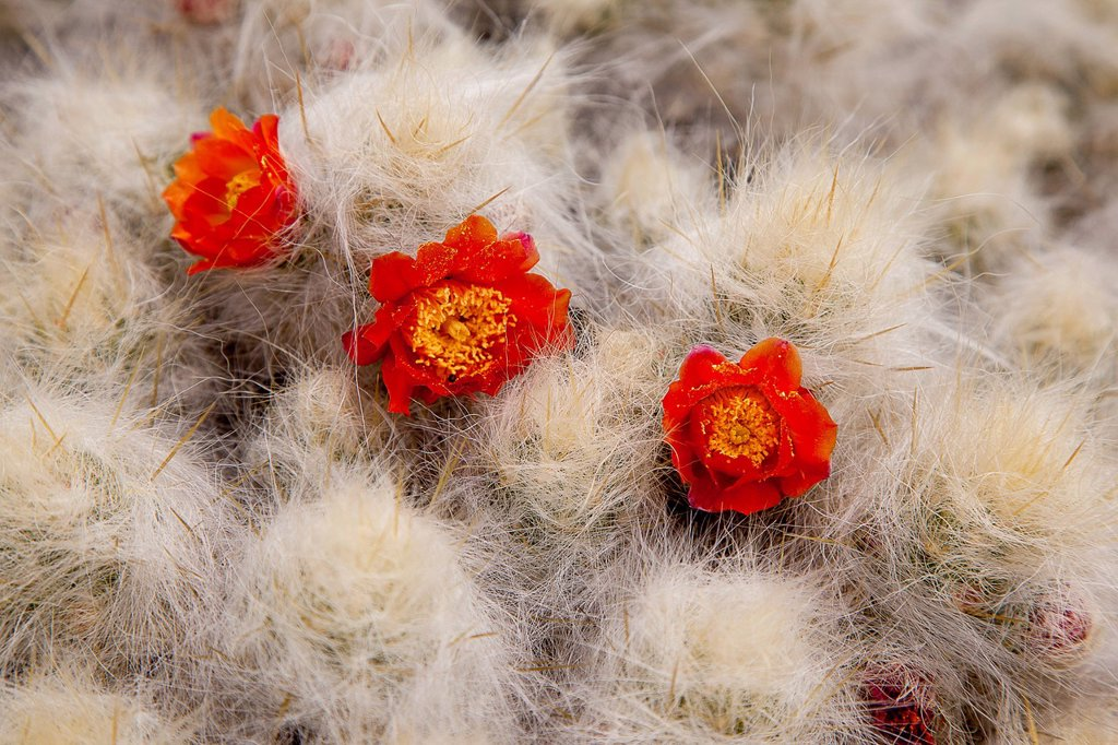 Three red cactus flowers, Cordillera Huayhuash mountain range, Andes, Peru, South America : Stock Photo