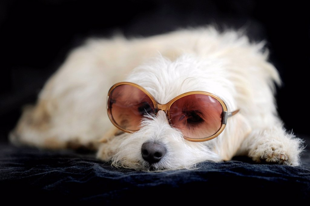 Terrier cross breed, 1 year, wearing sunglasses : Stock Photo