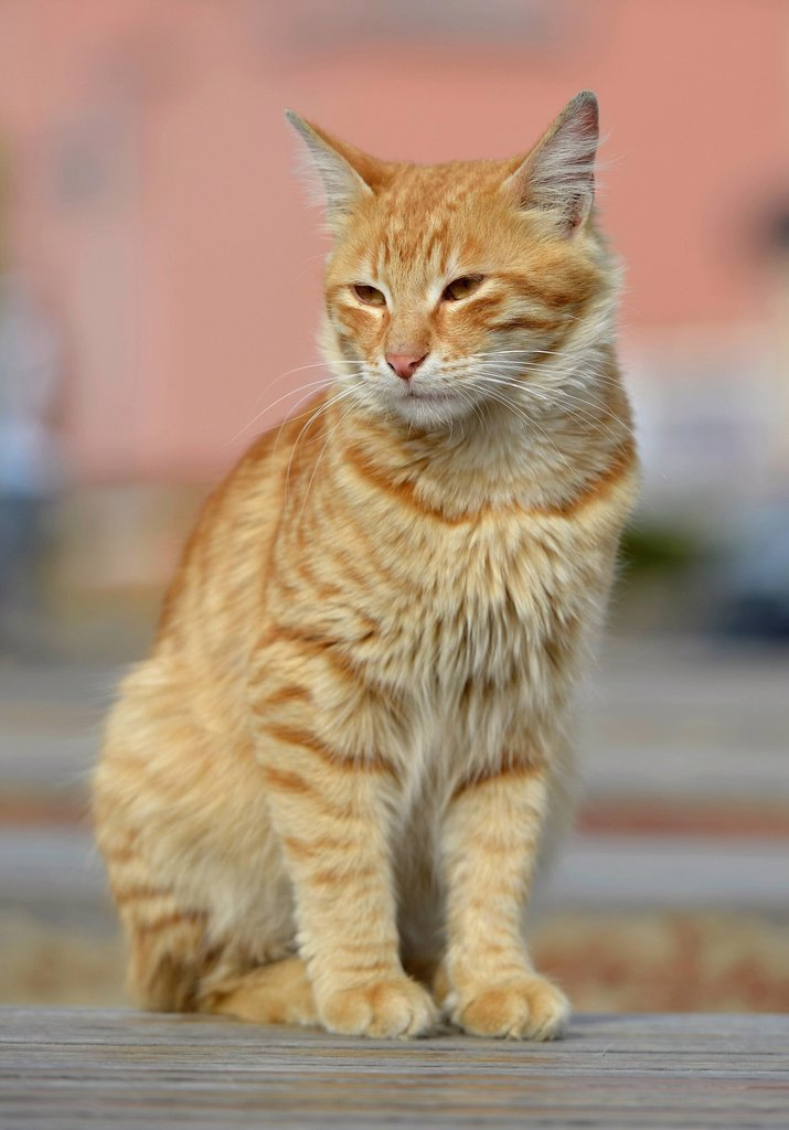 Red_striped cat, Istanbul, Turkey, Europe : Stock Photo