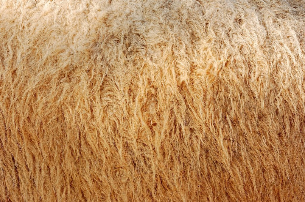 Stock Photo: 1848-615674 Bactrian camel Camelus ferus bactrianus syn. Camelus bactrianus bactrianus, detail of the coat, native to Asia, captive, North Rhine_Westphalia, Germany, Europe