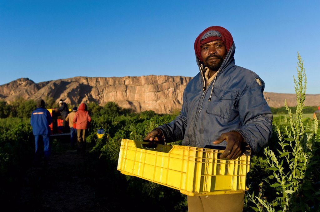 Farm worker harvesting melons, Noordoewer, Namibia, Africa : Stock Photo