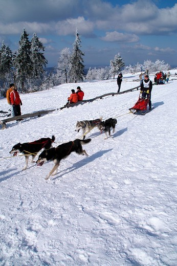 Dog sleigh race with huskies, Taunus, Hesse, Germany : Stock Photo