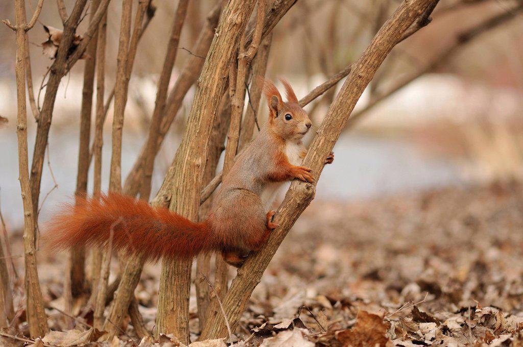 Stock Photo: 1848-617995 Eurasian red squirrel Sciurus vulgaris, Stadtpark Leipzig park, Saxony, Germany, Europe