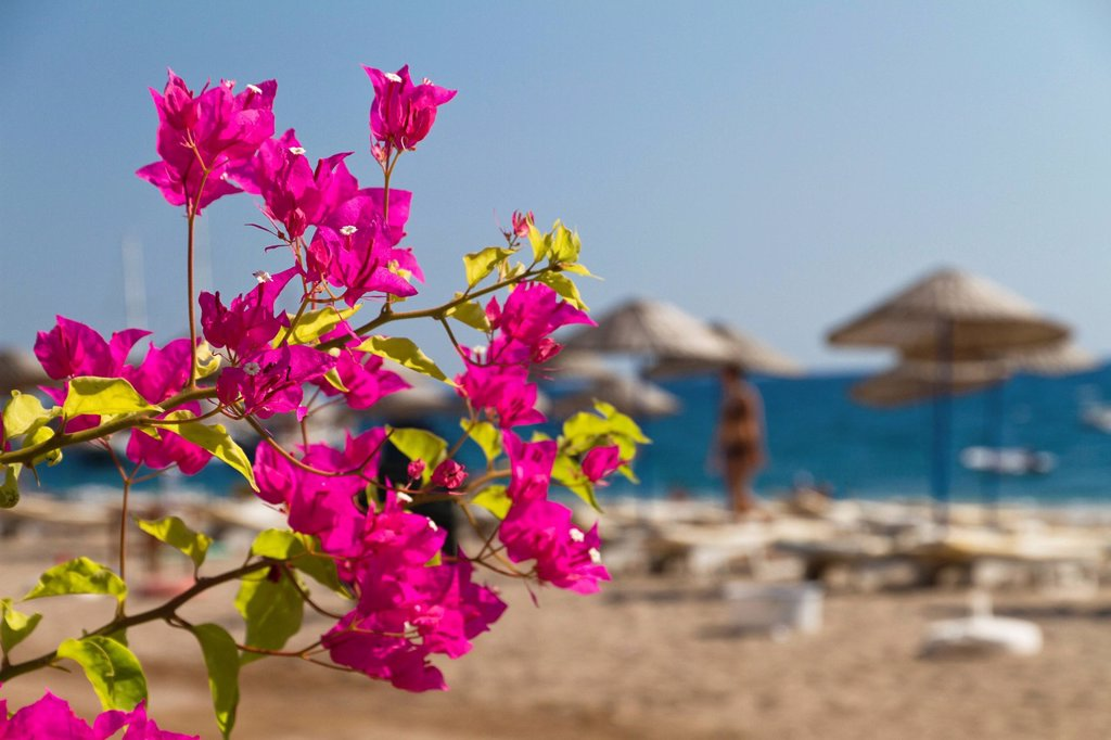Stock Photo: 1848-619035 Bougainvillea on the beach of Cirali, Lycian coast, Lycia, the Aegean, Mediterranean Sea, Turkey, Asia Minor