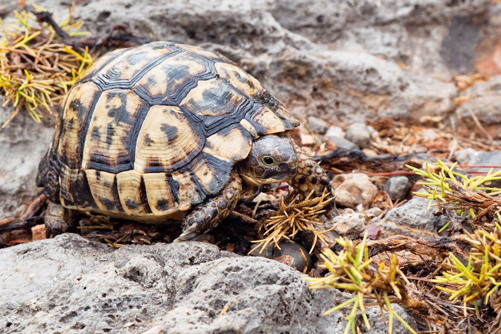 Stock Photo: 1848-619046 Spur_thighed Tortoise or Greek Tortoise Testudo graeca, Lycian Coast, Turkey, Asia Minor