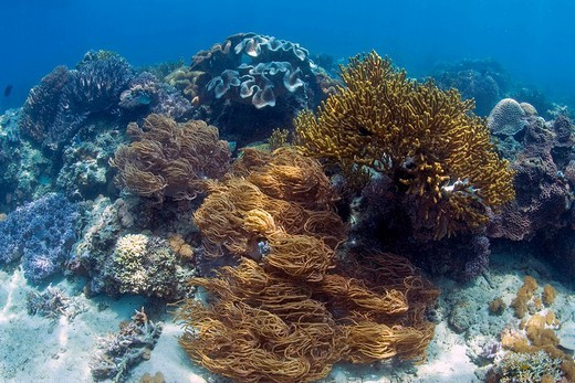 Stock Photo: 1848-61957 Coral reef in the underwater national park of Bunaken, Sulawesi, Indonesia.
