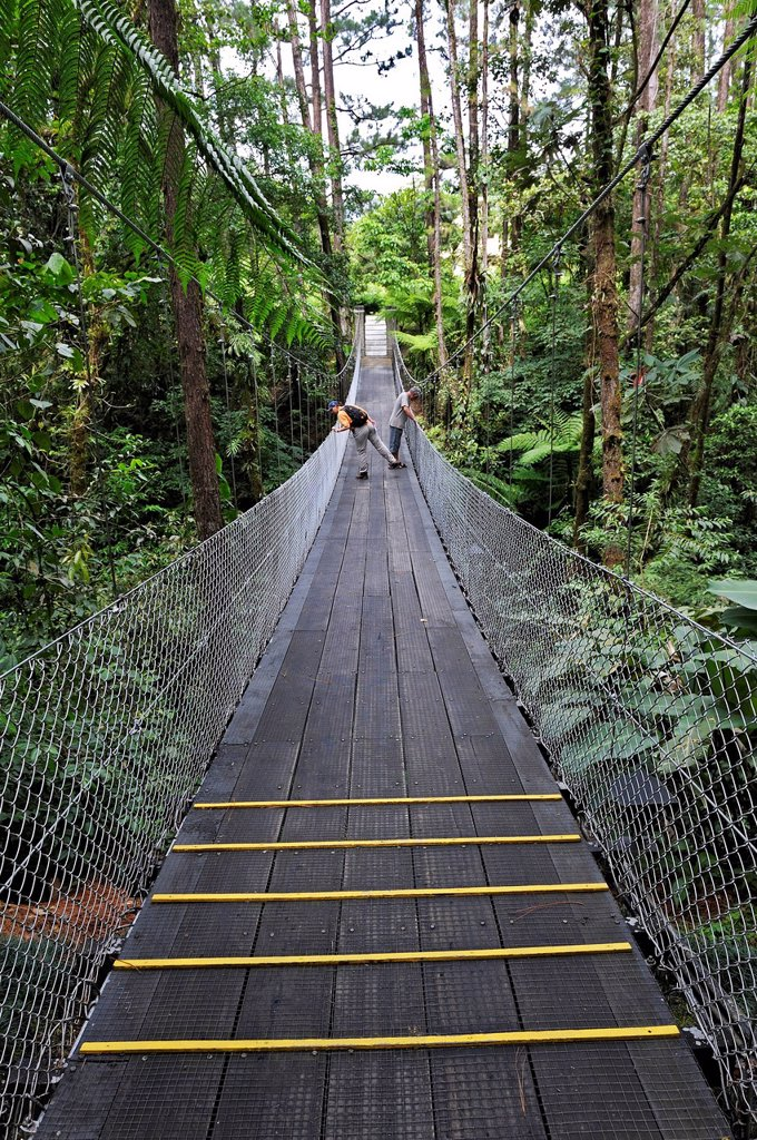 Pine or Fir Pinus sp. trees with a suspension bridge near the Arenal Observatory Lodge, Alajuela Province, Costa Rica, Central America : Stock Photo