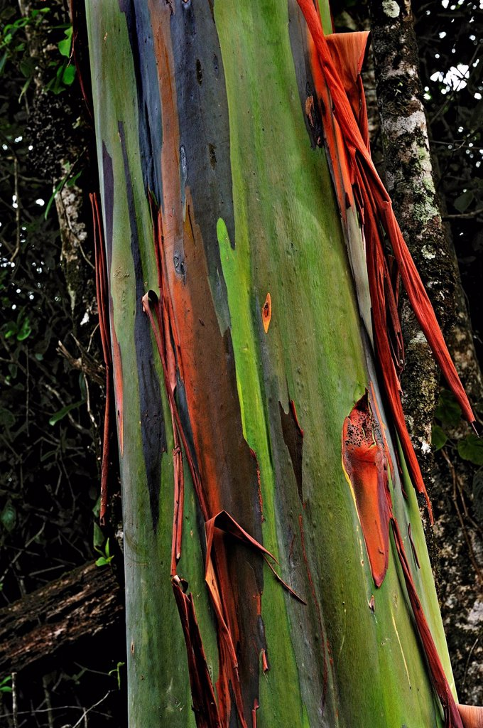 Eucalyptus tree or Blue Gum Eucalyptus, Alajuela Province, Costa Rica, Central America : Stock Photo