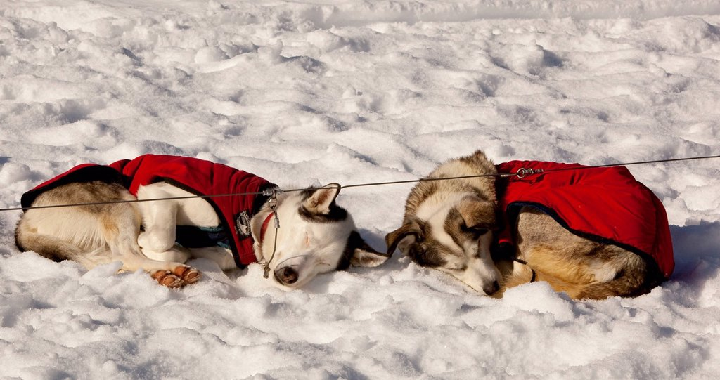 Two sled dogs with dog coats resting, sleeping in snow and sun, curled up, stake out cable, Alaskan Huskies, Yukon Territory, Canada : Stock Photo