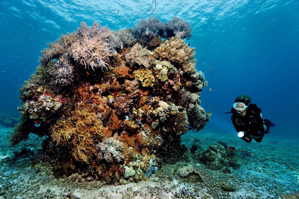 Stock Photo: 1848-622864 Diver looking at a large block of various corals on the reef top, Great Barrier Reef, a UNESCO World Heritage Site, Queensland, Cairns, Australia, Pacific Ocean
