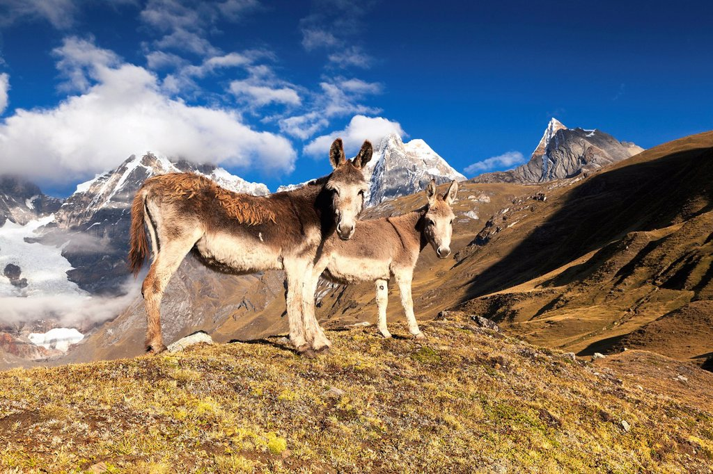 Stock Photo: 1848-624464 Donkeys Asinus, Cordillera Huayhuash mountain range, Andes, Peru, South America
