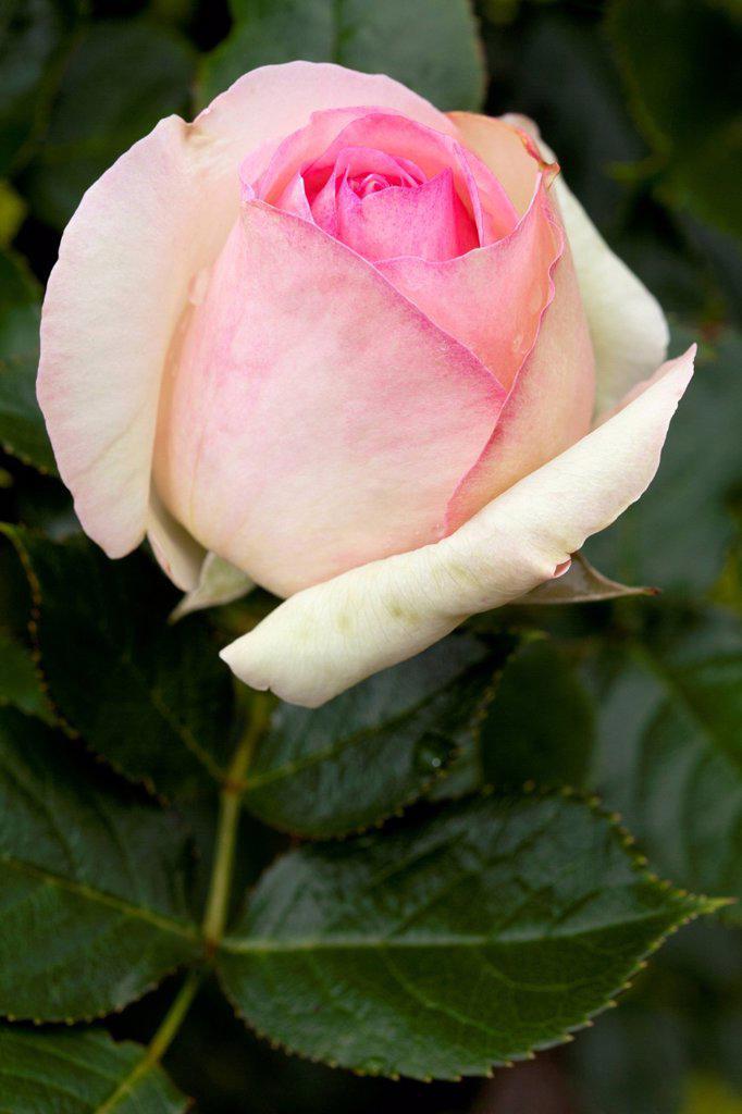 Stock Photo: 1848-624490 Shrub Rose, Eden Rose 85 Rosa, Westphalia Park, Dortmund, Ruhr Area, North Rhine_Westphalia, Germany, Europe