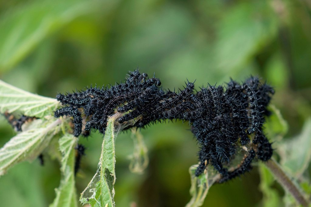 Stock Photo: 1848-624710 European Peacock or Peacock Butterfly Inachis io, caterpillars on nettles, Dreieich_Goetzenhain, Hesse, Germany, Europe