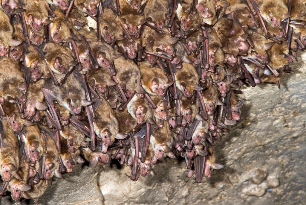 A colony of Lesser mouse_eared bats Myotis blythii in a cave, Republic of Georgia, Caucasus, Eurasia : Stock Photo