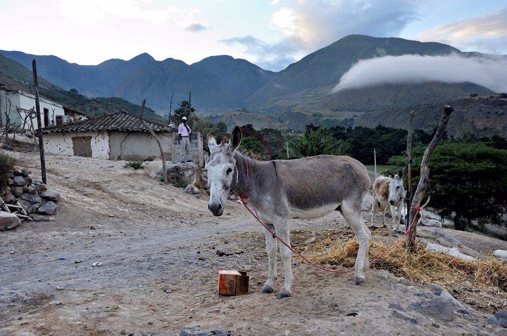 Donkey tied to a pole, African_Ecuadorian community of La Loma, Paroquia Concepcion, Canton Mira, Carchi province, Ecuador, South America, *** IMPORTANT: Image must not be used for any publication print and online of an aid organization or NGO in Germany*. Donkey tied to a pole, African_Ecuadorian community of La Loma, Paroquia Concepcion, Canton Mira, Carchi province, Ecuador, South America, *** IMPORTANT: Image must not be used for any publication print and online of an aid organization or NGO : Stock Photo