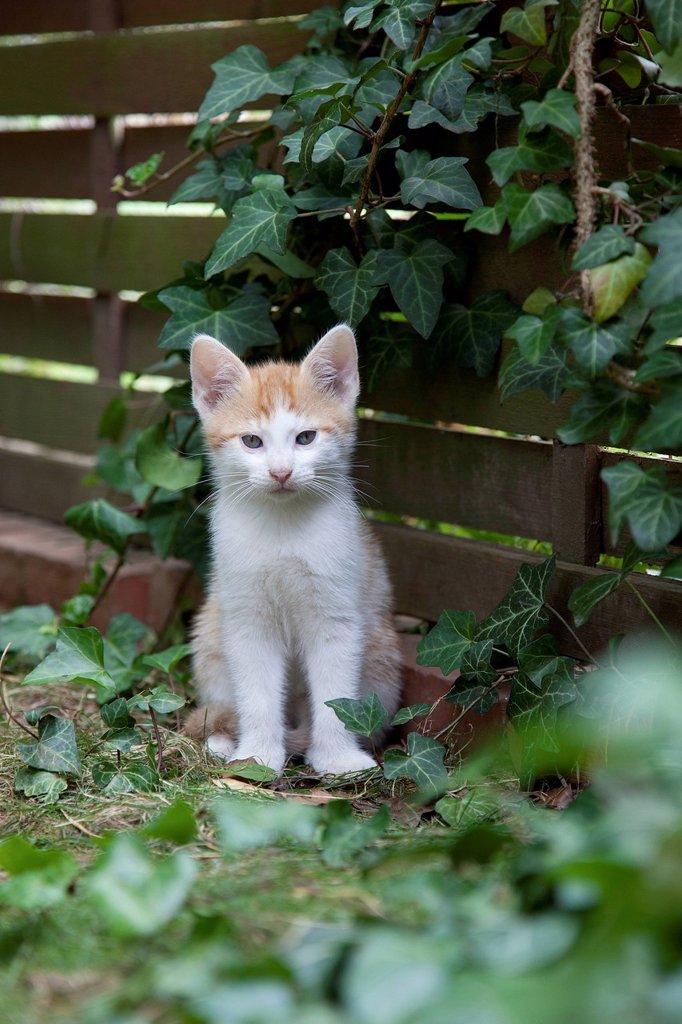 Stock Photo: 1848-626805 Ginger kitten in the garden