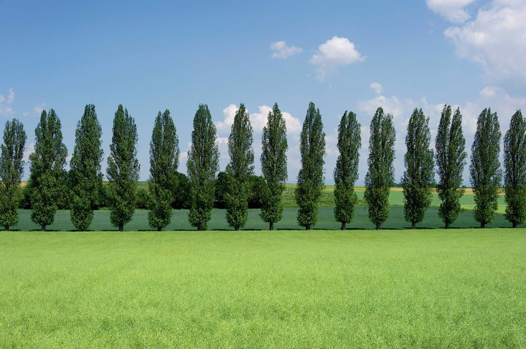 Avenue lined with Lombardy poplars Populus nigra ´Italica´ behind a rapeseed field with pods Brassica napus, near Straubing, Lower Bavaria, Bavaria, Germany, Europe, PublicGround : Stock Photo