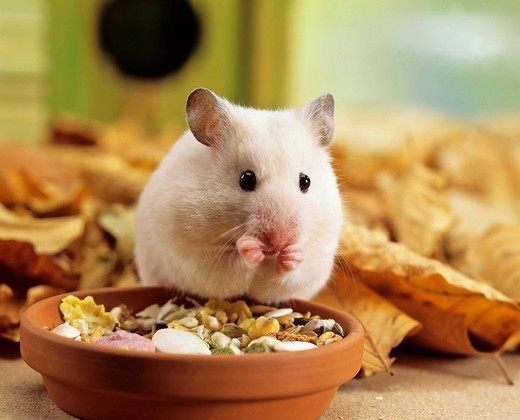 Stock Photo: 1848-6287 White Golden Hamster Mesocricetus auratus