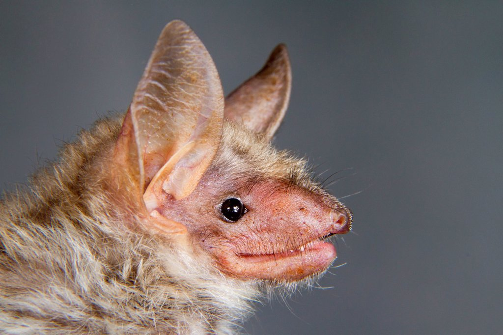 Lesser mouse_eared bat Myotis blythii, portrait, Republic of Georgia, Caucasus, Eurasia : Stock Photo