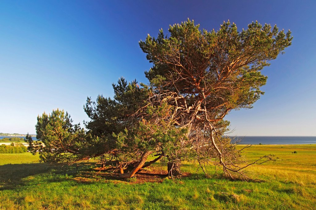 Old free_standing Scots Pine Pinus sylvestris in the evening light, nature reserve on Moenchsgut Peninsula and Ruegischer Bodden in Southeast Ruegen Biosphere Reserve on the Baltic Sea coast, island of Ruegen, Mecklenburg_Western Pomerania, Germany, Europ. Old free_standing Scots Pine Pinus sylvestris in the evening light, nature reserve on Moenchsgut Peninsula and Ruegischer Bodden in Southeast Ruegen Biosphere Reserve on the Baltic Sea coast, island of Ruegen, Mecklenburg_Western Pomerania, Ge : Stock Photo